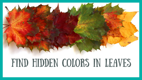 Fall Experiments and Projects | Hidden Colors in Fall Leaves